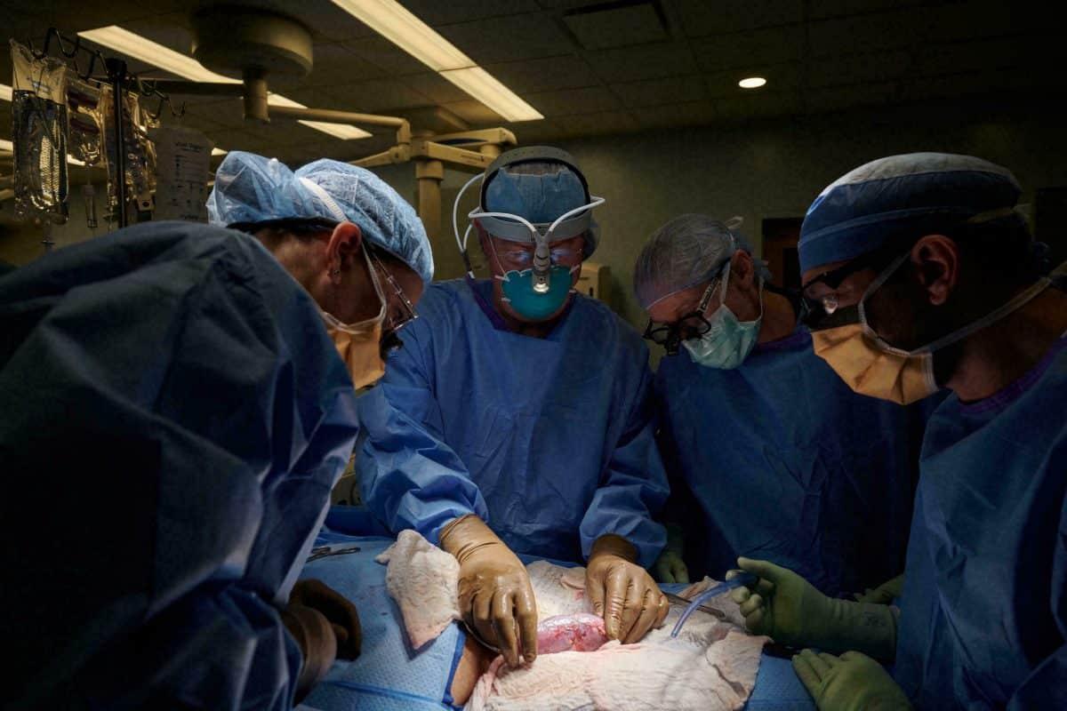 transplantation rein porc