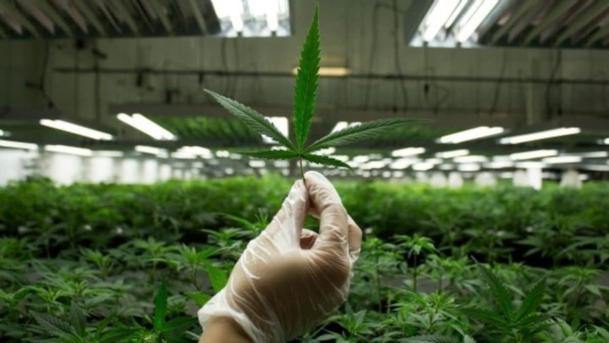 Cannabis médical, une nouvelle ferme expérimentale en Gironde